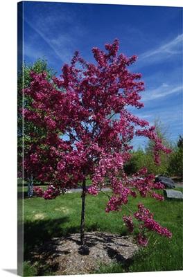Red prairie crabapple tree (Malus ioensis) in bloom, New York