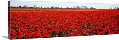 Red Tulip Field Enkhuizen Holland region Netherlands