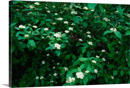 Red Twig Dogwood Cornus Stolonifera Flowers Blooming