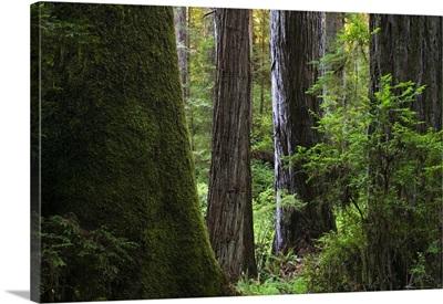 Redwood forest, Prairie Creek Redwoods State Park, California