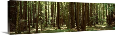 Redwood trees Armstrong Redwoods St Reserve Russian River Valley CA