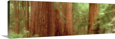 Redwood Trees, Muir Woods, California