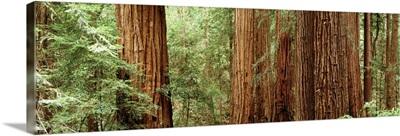 Redwoods Muir Woods CA