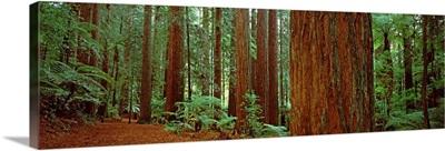 Redwoods trees, Whakarewarewa Forest, Rotorua, North Island, New Zealand