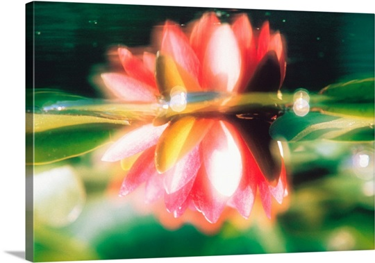 Reflection of lotus flower in pond wall art canvas prints framed reflection of lotus flower in pond mightylinksfo