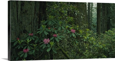 Rhododendron flowers in a rainforest, California