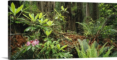 Rhododendron plants and Redwood (sequoia sempervirens) trees in a forest, Redwood National Park, California