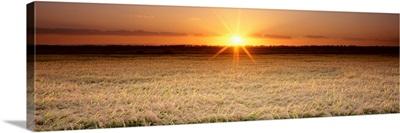 Rice Field, Sacramento Valley, California