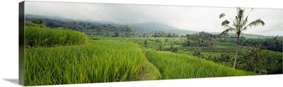 Rice Paddies Bali Indonesia