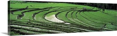 Rice Paddy Field Sri Lanka