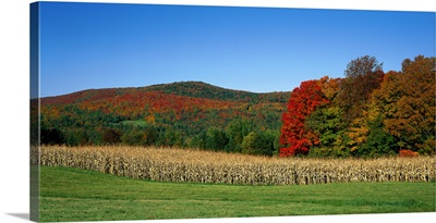 Ripe corn Autumn leaves Vermont