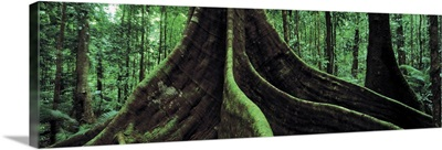 Roots of a giant tree, Daintree National Park, Queensland, Australia