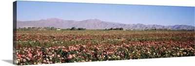 Rose Field White Tank Mountains Waddell AZ