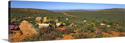 Rosea Ice Plant, Nieuwoudtville, Northern Cape Province, South Africa