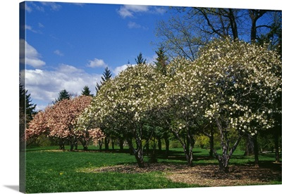 Row of magnolia trees blooming in spring, New York