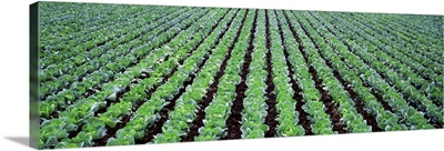 Rows of Cabbage Yamhill County OR