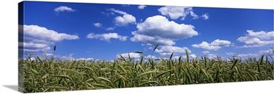 Rye field, Baden-Wurttemberg, Germany