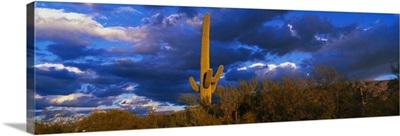 Saguaro Cactus at Sunset AZ