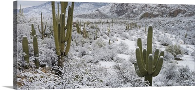 Saguaro Cactus in a desert after snowstorm, Tucson, Arizona