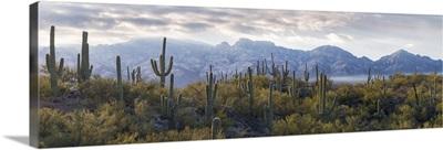 Saguaro Cactus, Santa Catalina Mountains, Honey Bee Canyon Park, Tucson, Arizona