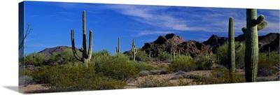 Saguaro cactus Sonoran Desert Scene Saguaro National Park Arizona