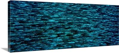 School of Silverside fish