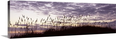 Sea oat grass on the beach, Atlantic Ocean Beach, Amelia Island, Nassau County, Florida
