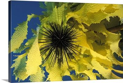 Sea Urchin & Seaweed