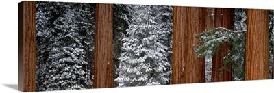 Sequoia Trees Sequoia National Park CA