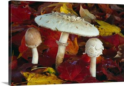Shaggy parasol mushrooms (Lepiota rachodes) in leaf litter, autumn color, New York