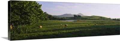 Sheep grazing in a field, Republic of Ireland