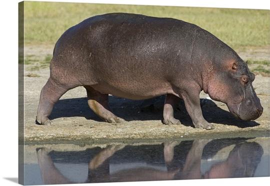 Side Profile Of A Hippopotamus Walking Ngorongoro Crater