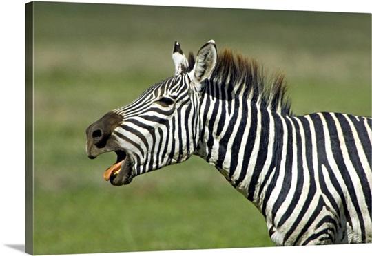 Side profile of a zebr...