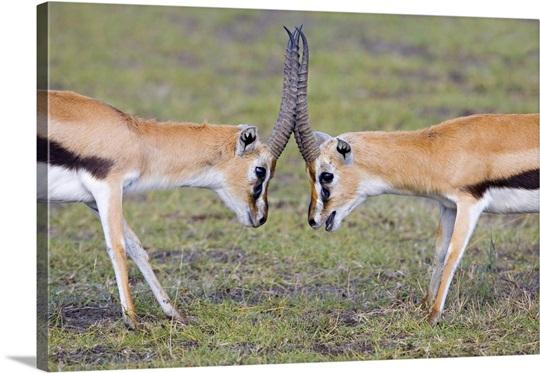 Side Profile Of Two Thomsons Gazelle Gazella Thomsonii Fighting Lake Nakuru Kenya Canvas