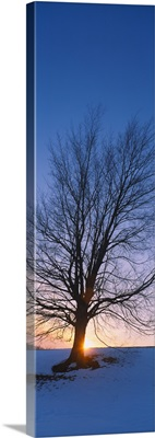 Silhouette of a bare tree at dusk, Grand Rapids, Kent County, Michigan