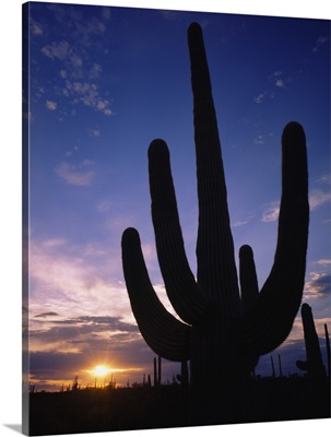 Silhouette of a cactus, Four Peaks Wilderness Area, Sonoran Desert, Tonto National Forest, Maricopa County, Arizona