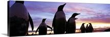 Silhouette of a group of Gentoo penguins, Falkland Islands (Pygoscelis papua)