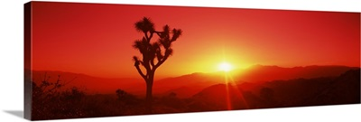 Silhouette of a Joshua tree at dusk, Joshua Tree National Park, California,