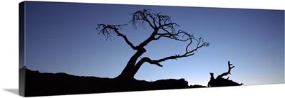 Silhouette of a Limber pine (Pinus flexilis) tree, Crowsnest Pass, Alberta, Canada