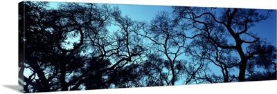 Silhouette of an Oak tree, Oakland, California