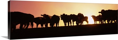 Silhouette of cows at sunset, Point Reyes National Seashore, California