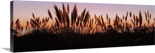 Silhouette of grass in a field at dusk, Big Sur, California