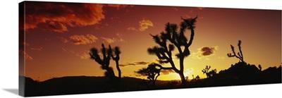 Silhouette of Joshua trees at sunset, Joshua Tree National Monument, California