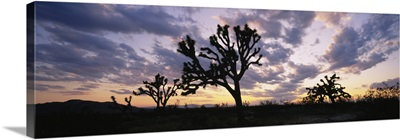 Silhouette of Joshua trees at sunset, Saddleback Buttes State Park, Lancaster, California
