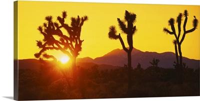 Silhouette of Joshua trees (Yucca brevifolia) at sunset, Joshua Tree National Monument, California