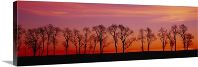 Silhouette of Locus trees in a countryside, Strasburg, Pennsylvania, (Robinia pseudoacacia)