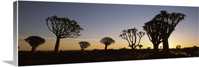 Silhouette of Quiver trees Aloe dichotoma at sunset Namibia