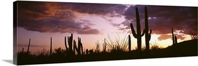 Silhouette of saguaro cactus at sunset, Organ Pipe Cactus National Monument, Arizona