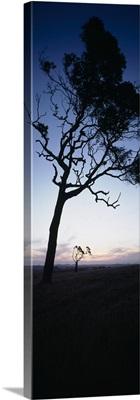 Silhouette of trees at dusk, Western Australia, Australia