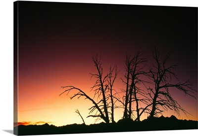 Silhouetted bare trees, sunset.